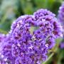 Purple_sm